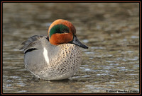 Common Teal - Sarcelle d'hiver