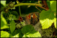 Yellow Warbler nest in a raspberry tree