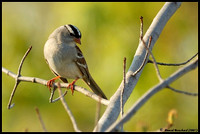 White-crowned sparrow - Bruant à couronne blanche