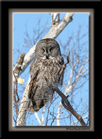 Great grey owl - Chouette Lapone